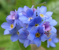 Forget Me Nots for Seed Favors